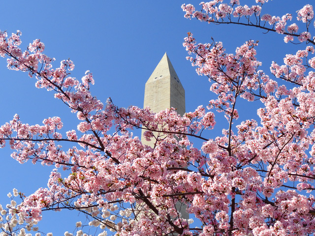 Cherry Blossoms at the Monument: Digital Photograph by Christopher Spicer
