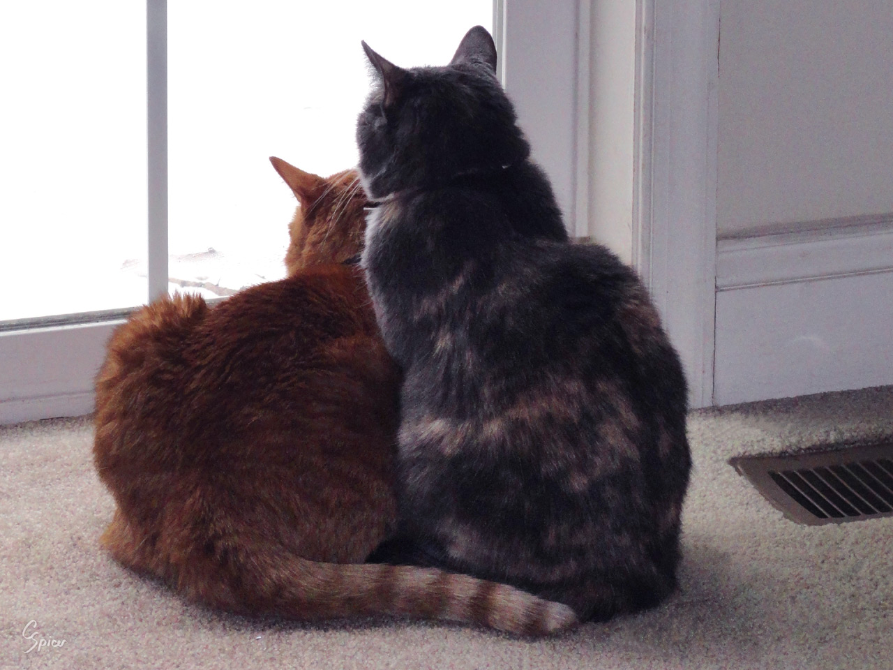 Discovery for Maggie and Milo: Digital Photograph by Christopher Spicer - Two cats find comfort cuddled together as they stare curiously through a glass door into the mysteries of the world beyond.
