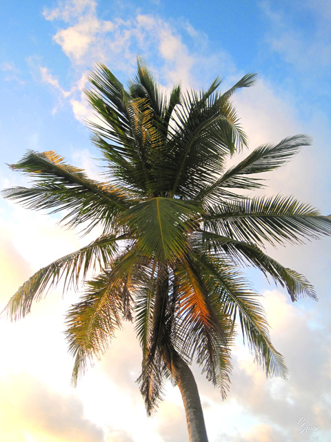 Palm Tree at Akumal Sur: Digital Photograph by Christopher Spicer