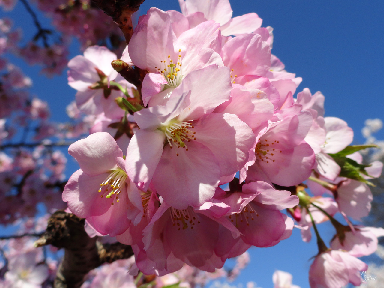 Pink Cherry Blossoms: Digital Photograph by Christopher Spicer - In full bloom, the pink blossoms of a cherry tree spread out across a blue sky.
